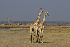 Botswana Chobe NP