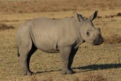 Botswana Khama Rhino