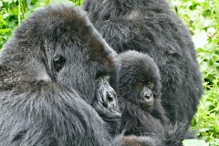Kongo (DRC) Virunga Gorilla Trekking
