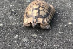 Nordgriechenland Landschildkröte