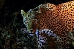 Oktober 2020: Leopard im South Luangwa Nationalpark / Sambia