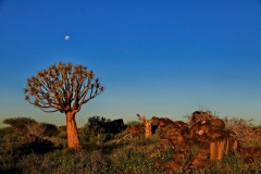 Namibia Quiver Tree