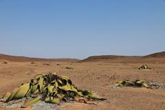 Namibia Welwischia