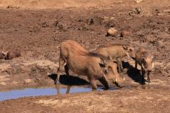 Südafrika Addo Nationalpark