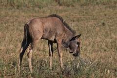 Südafrika Kgalagadi