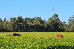 Südafrika Magwa Tea