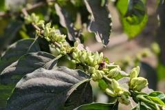 Tansania Utengule Kaffeeblüte