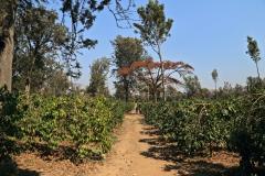 Tansania Utengule Kaffeepflanze