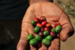 Tansania Utengule Kaffeebeere