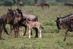Tansania Serengeti