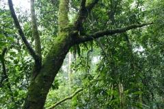 Uganda Kalinzu Forst Schimpansen